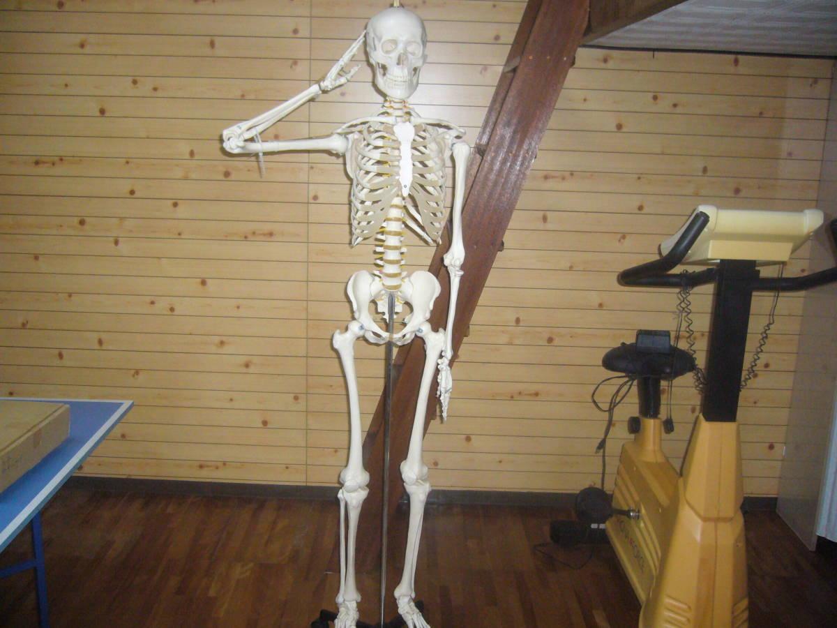 人体骨格模型 身長172cm 全長180cm_画像5