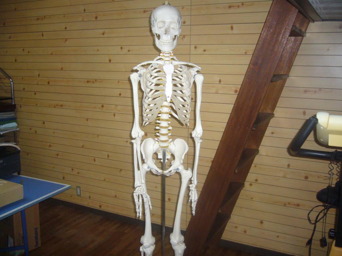人体骨格模型 身長172cm 全長180cm_画像2