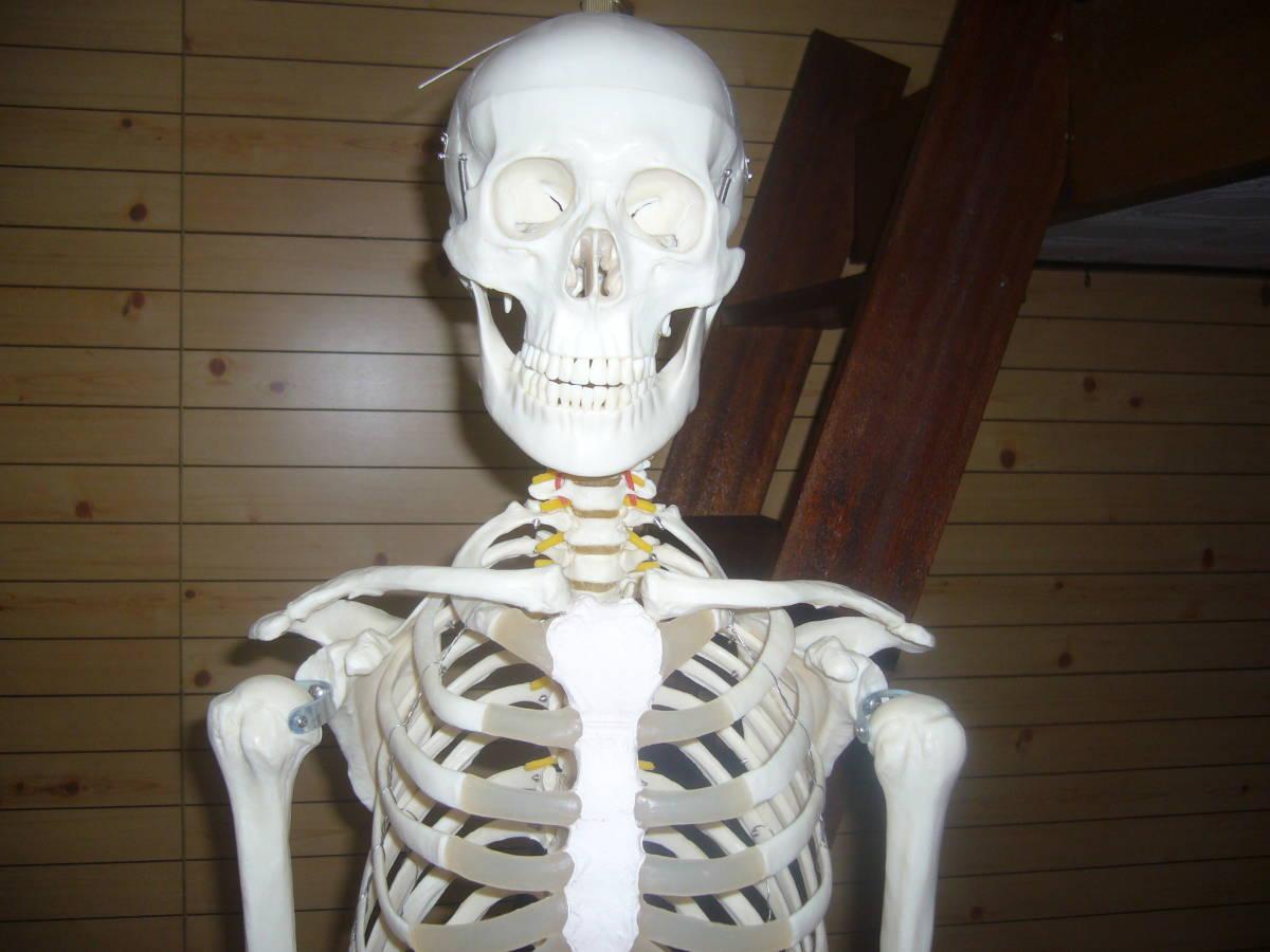 人体骨格模型 身長172cm 全長180cm