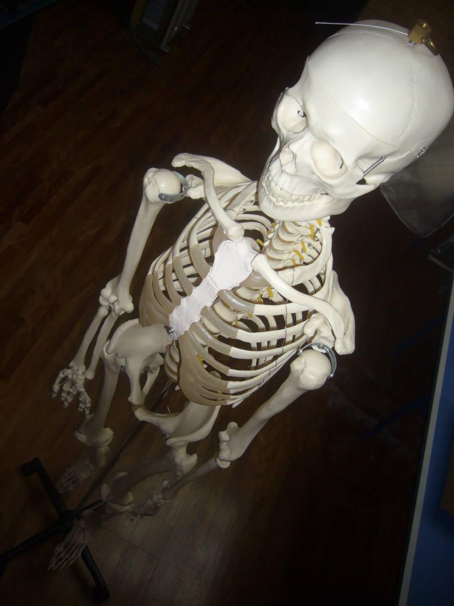 人体骨格模型 身長172cm 全長180cm_画像3