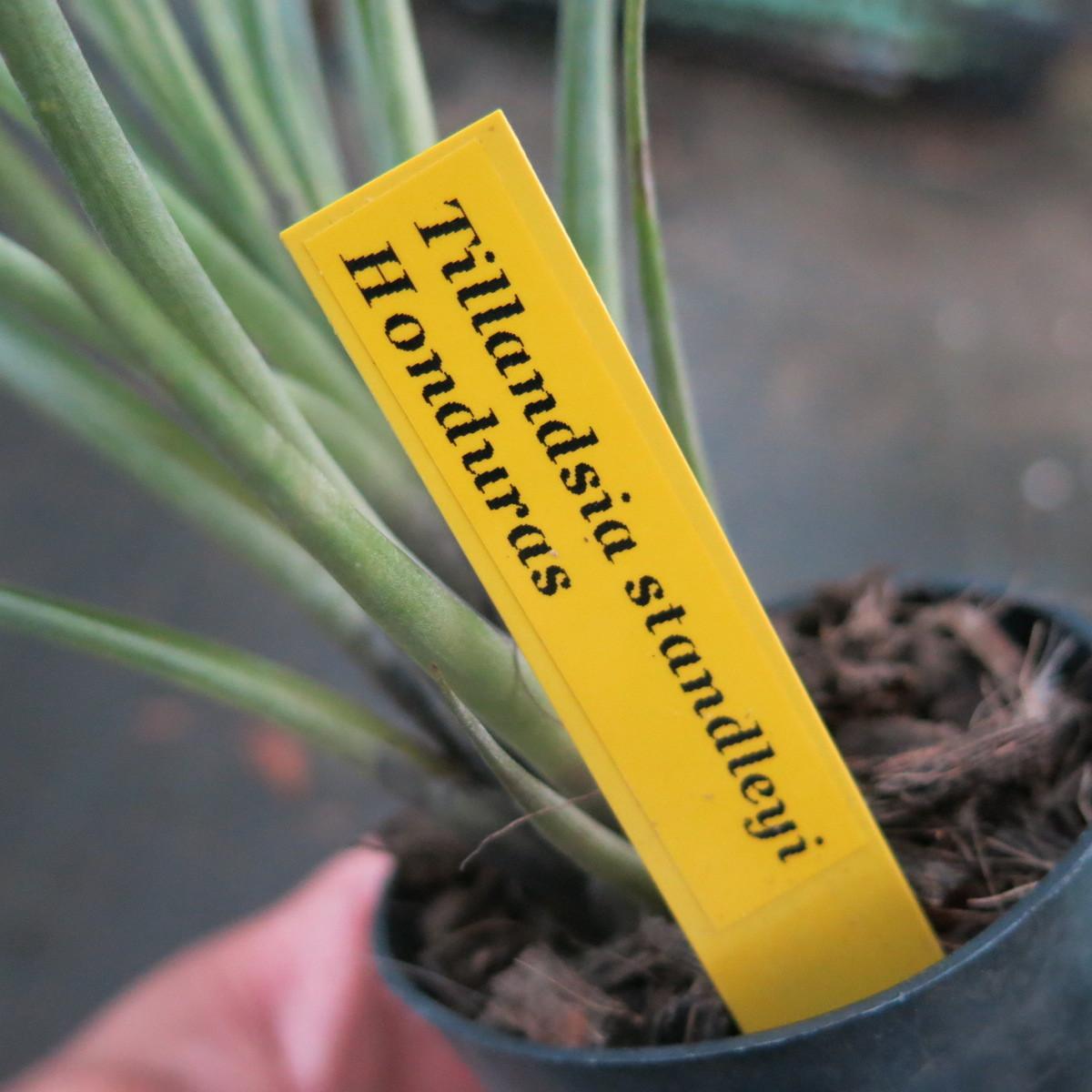 ティランジア コレクション Tillandsia standley ホンディュラス産_画像5