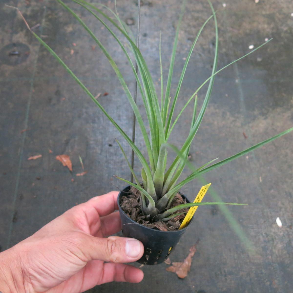 ティランジア コレクション Tillandsia standley ホンディュラス産_画像1