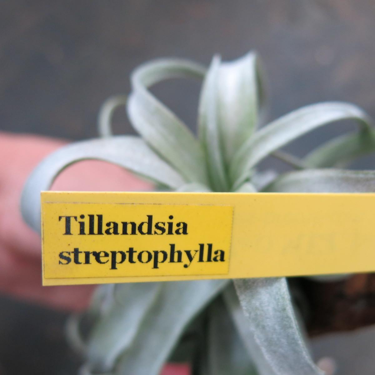 ティランジア コレクション Tillandsia streptophylla_画像5