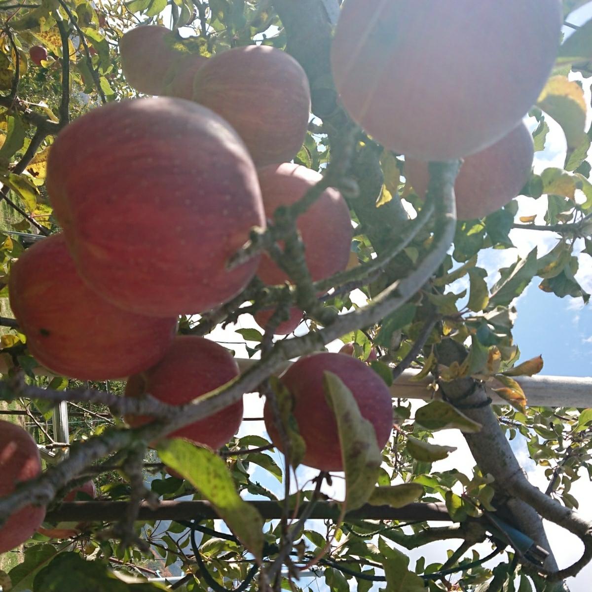 みずみずしく美味しい!【減農薬】サンふじ 【無肥料】たっぷり15キロ 信州りんご_画像3