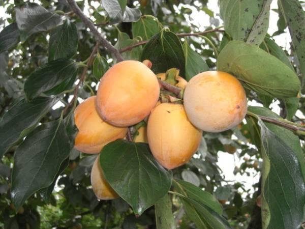 岡山の柿「あたご柿」 8kg 特大サイズ 約35~40個 36