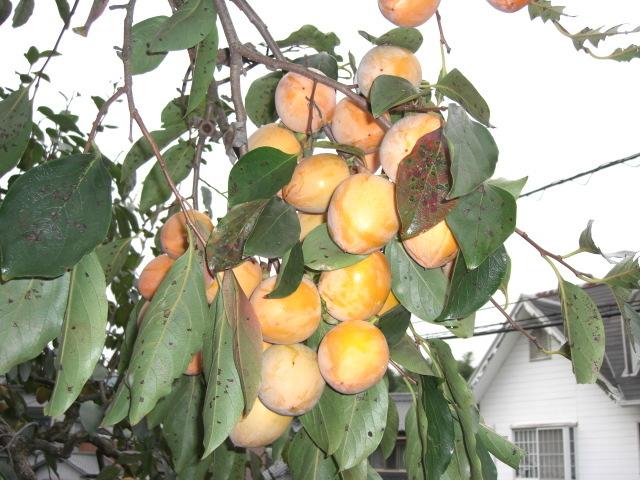 岡山の柿「あたご柿」 8kg 特大サイズ 約35~40個 36_画像4
