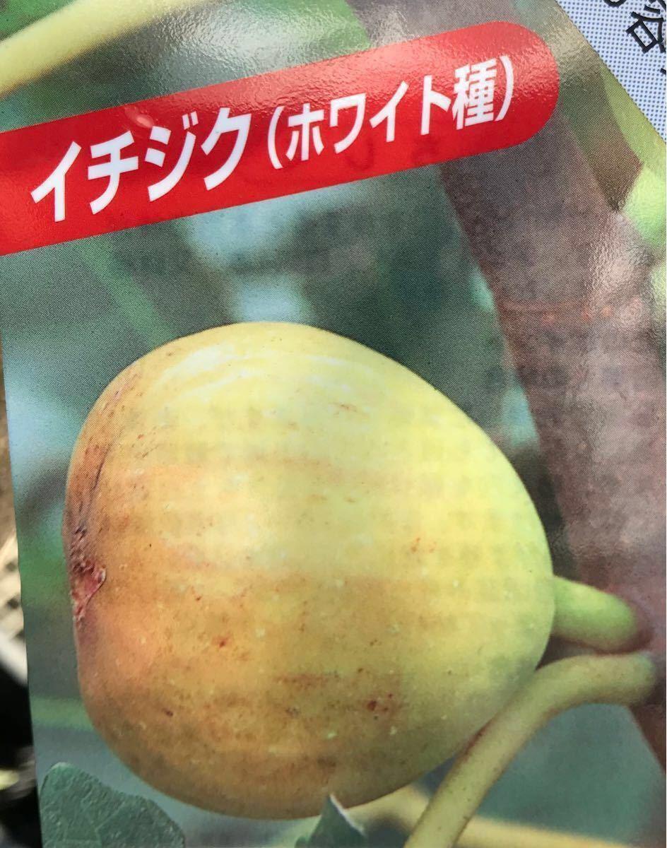 ホワイト種 いちぢく苗木_画像1