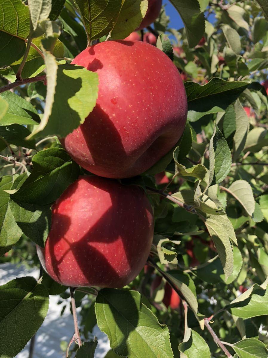 青森県産 りんご サンふじ 葉とらず 19kg前後 (家庭加工用) 2_画像2