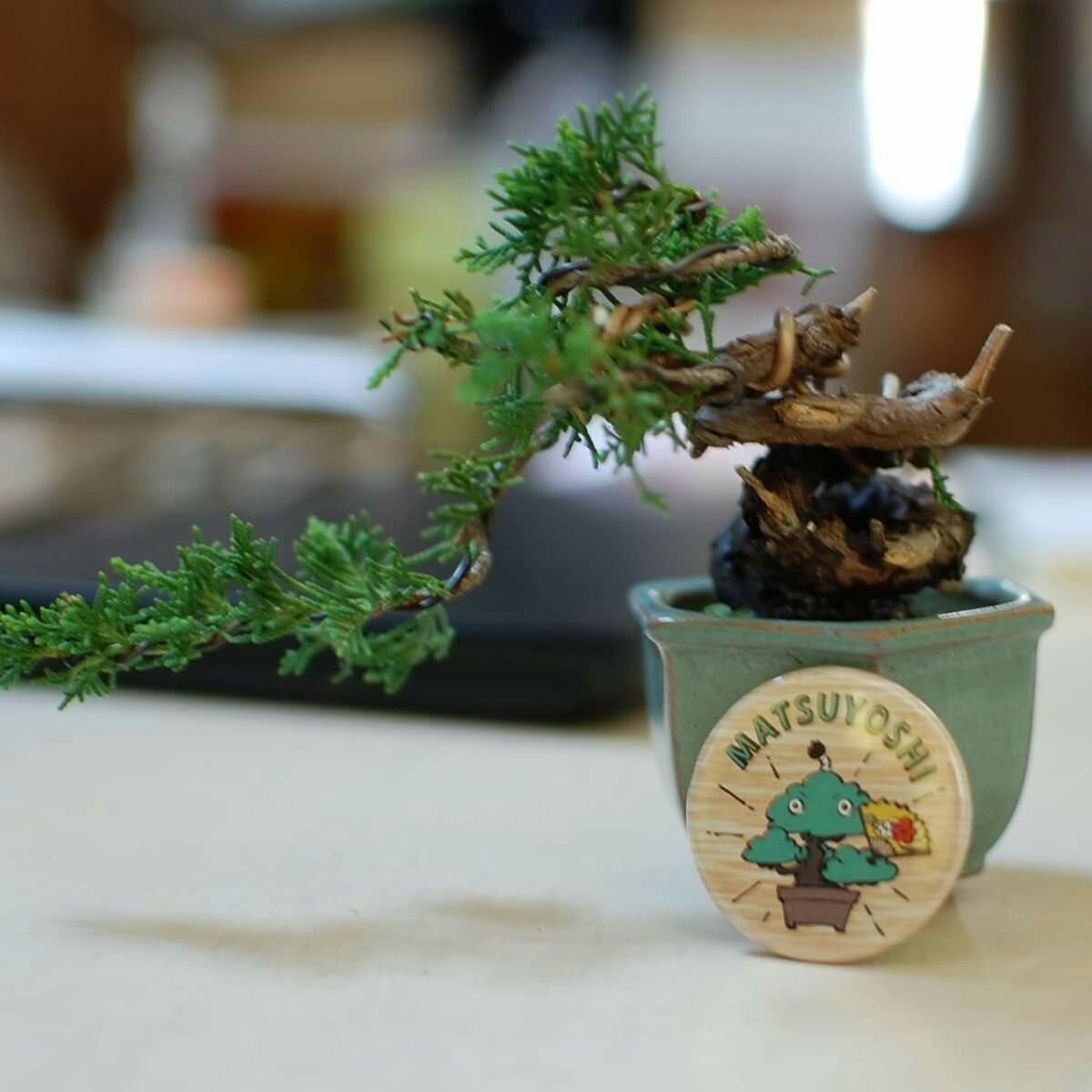 ミニ盆栽 黒松 小品盆栽「まっちゃん」缶バッジ 44mm 松慶盆栽園オリジナルキャラクターです。_画像4