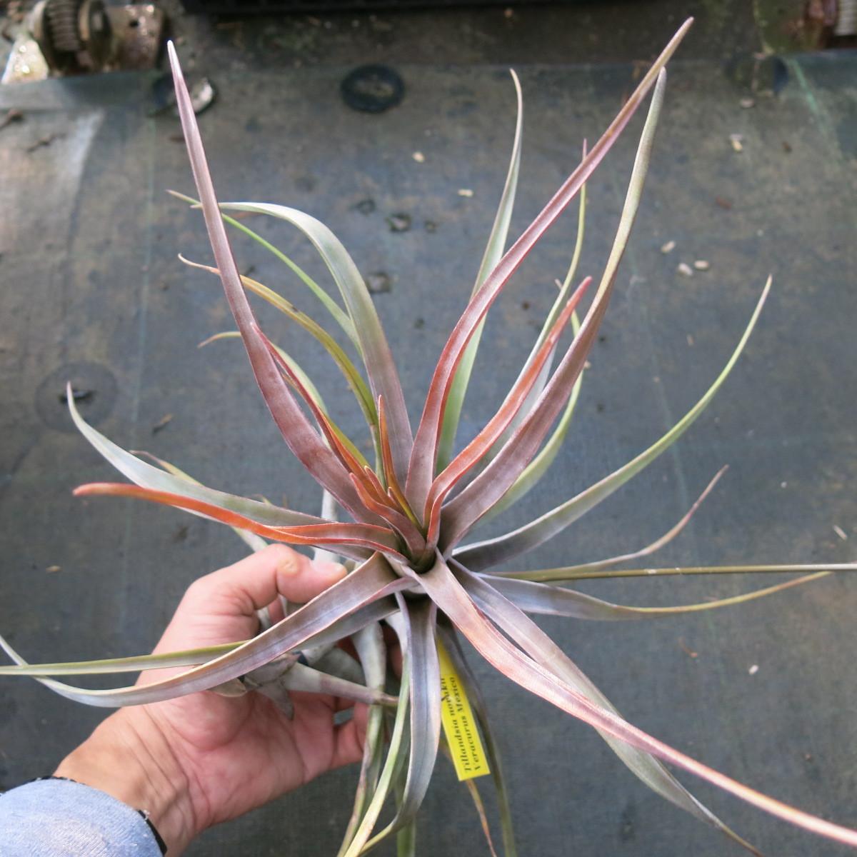 ティランジア コレクション Tillandsia novakii Veracurz Mexico_画像1