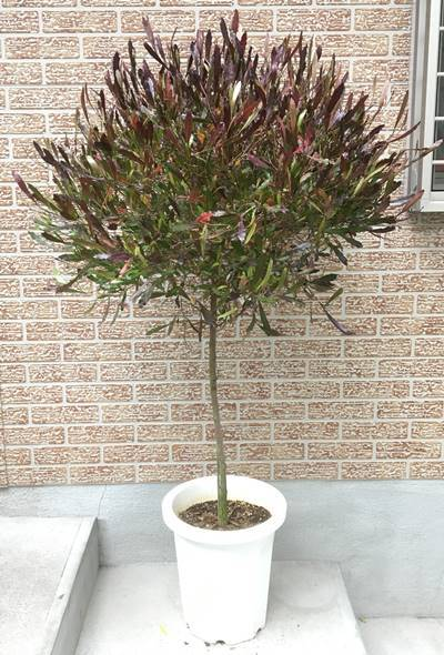 《Actual products》Donna Air calls samples the standard Jade Tailor height 1. 2m【potted plants/saplings/symbol tree/garden trees/plants/celebration/gift】