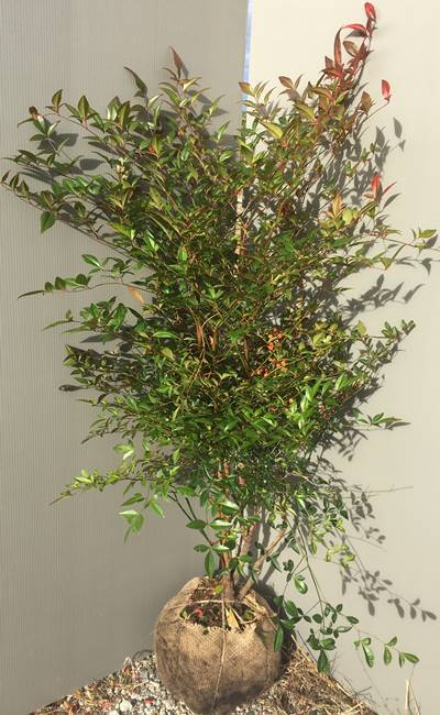 """""""Marking"""" red nandina (Akananten) (not including root bowl) tree height 1.0m 02 [seedlings / plants / garden / hedge / blindfold / ground cover / evergreen / auspicious tree / lucky tree]"""