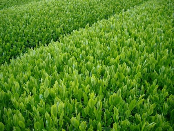 送料無料 2020年産 静岡県産 深蒸し茶 100g×6袋 深むし茶 カテキン 緑茶 大人気!美味しいお茶です!Green tea 敬老の日_画像2