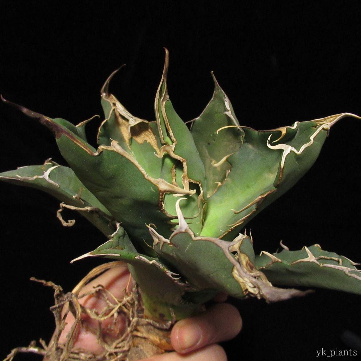 #29 Agave titanota FO-076 Sierra Mixteca アガベ チタノタ FO-76 ( 塊根植物 コーデックス 多肉植物 好きにも