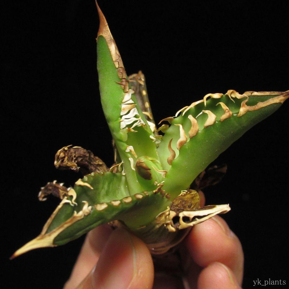 #41 Agave titanota Red Catweazle アガベ チタノタ レッドキャット ウィーズル ( 塊根植物 コーデックス 多肉植物 好きにも