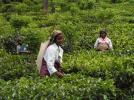 【送込み】 セイロン ウバ 有機栽培紅茶(100g2個)
