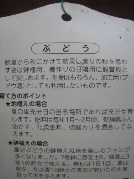 巨峰ぶどう苗木_画像2