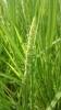 【28年産新米】 農薬9割減 新潟特別栽培米コシヒカリ白米5kg