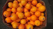 【送料半額】訳ありネーブルオレンジ10kg~