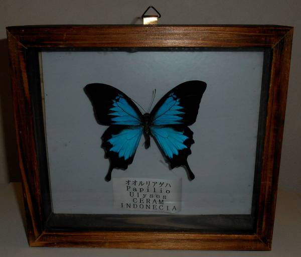 ★蝶 オオルリアゲハ パピリオユニシス 標本 1個 インドネシア産 木箱入 レア_画像2