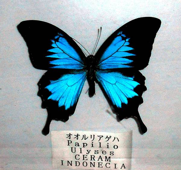 ★蝶 オオルリアゲハ パピリオユニシス 標本 1個 インドネシア産 木箱入 レア_画像1