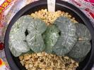 H1 ■ ハオルチア ■ 玉扇 大縄 ■ 超巨大型 コンゲスタ 葉ざし苗