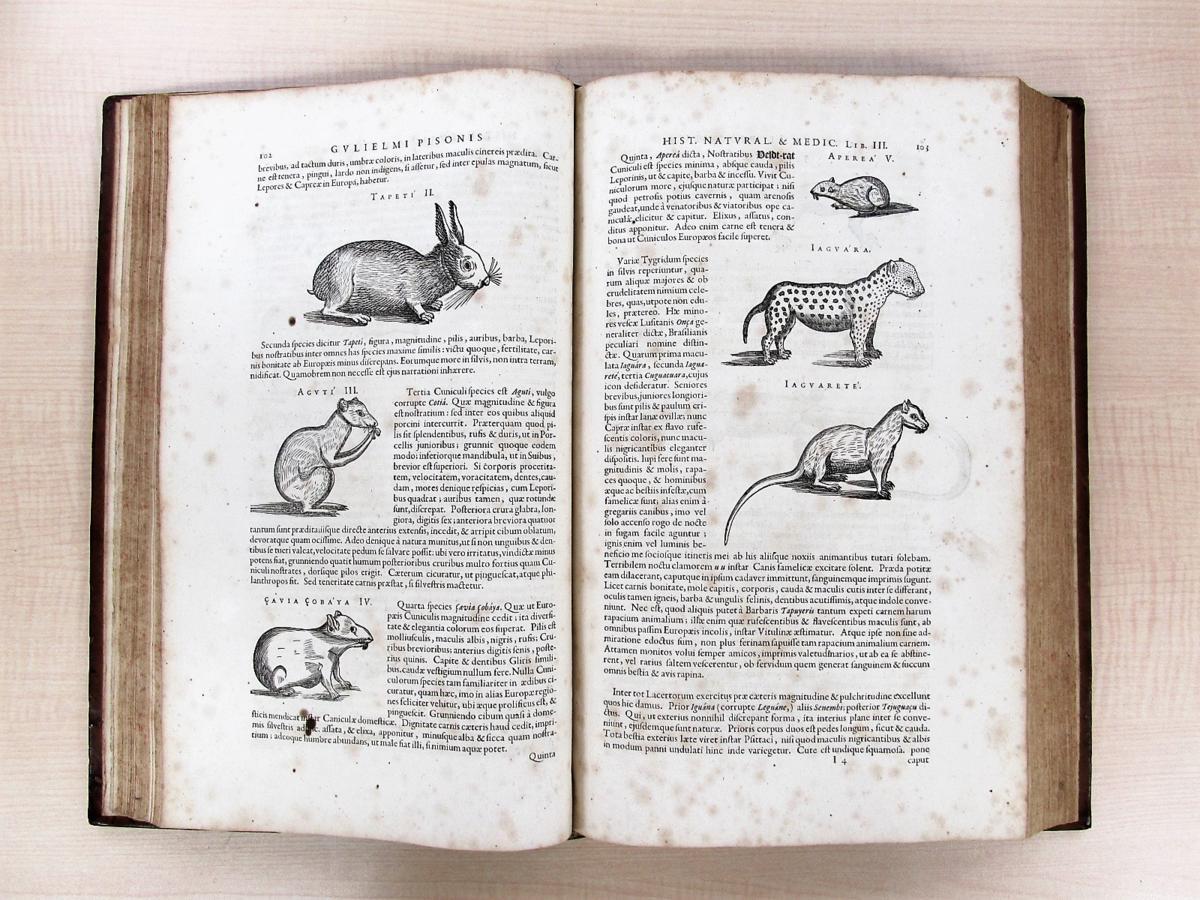 1658年刊『De Indiae utriusque re naturali et medica』熱帯医学の父ウイレム・ピソと博物学者マルクグラーフの歴史的名著_画像7