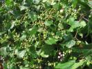 P-3 野ぶどう (馬ぶどう)の実 H28年9月収穫 400g 良品