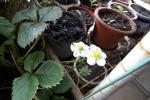 白い花が咲く四季成り苺の苗Ⅱ(3号ポット)