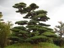 五葉松 一級品 4.0m 庭木 移植品 日本庭園 引取り限定