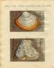 1799年 Bertuch 手彩色 銅版画~ヤマドリタケの仲間