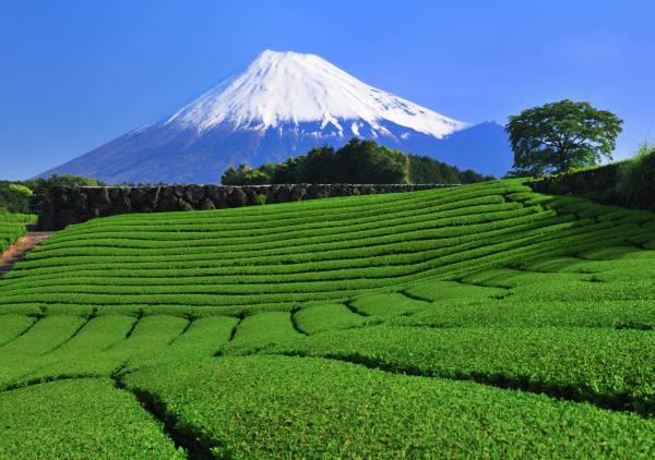 静岡茶通販■かのう茶店■深蒸し茶 100g3個 送料無料_話題&人気の深蒸し茶をぜひお試しください