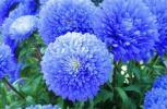 ブルーアスター (エゾギク) 種子 20 seed