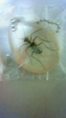 好奇心倶楽部ホンモノ昆虫標本コレクション★ヤツボシハンミョウ_画像はイメージです。