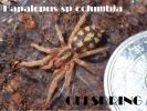 コロンビアンパンプキンパッチ Hapalopus sp. columbia gross 3-4cm タランチュラ