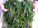 愛知産天然アナカリス約450gを第四種で全国331円輸送可!
