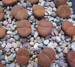 リトープス 摩利玉   種子5 seed_画像1