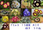 プリムラ 13種類 MIX 種子 30 seed