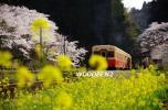 房総のローカルでレトロな駅舎と菜の花、桜に囲まれた、気動車
