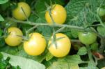 レモンドロップトマト  種子 5 seed