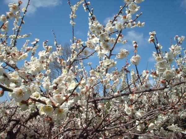 ★食欲増進に★疲れた時に★無添加品★豪華本場紀州産最高級南高梅梅干し A級3L 大粒(1.2kg)★_2月にはごらんのような花が咲きます。