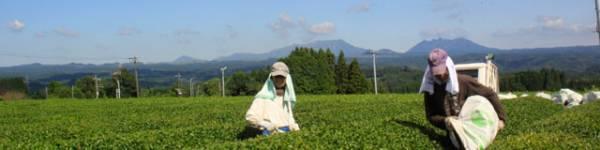 3個セット 宮崎茶房(有機JAS認定、無農薬栽培)、粉末茶 「食べる緑茶」70g、送料無料_画像3