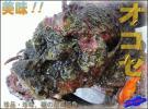 磯の超高級魚!!「活オコゼ2kg」お刺身用 『魚王国』境港産