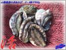 Kyпить とれたて!! 「黒あわび2・3枚で500g」天然物、活きたままお届けします。 на Yahoo.co.jp