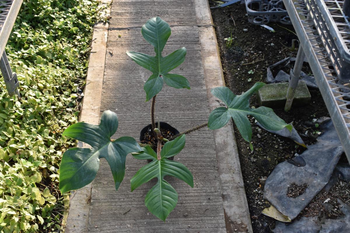 171176☆AO☆葉柄が面白いフィロデンドロン・スクアミフェルム Philodendron squamiferum