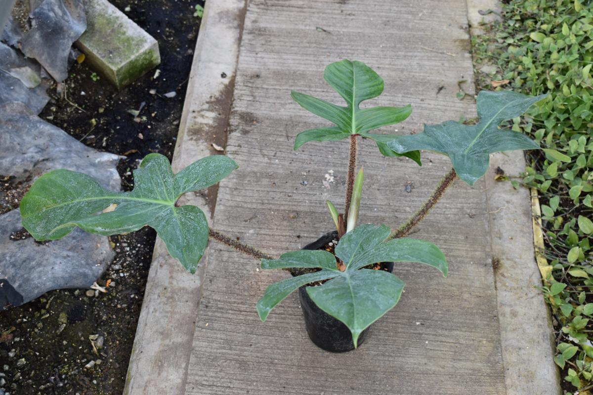 171176☆AO☆葉柄が面白いフィロデンドロン・スクアミフェルム Philodendron squamiferum_画像2