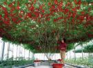 レア!★木の様になる『イタリアン・ツリー・トマト』の種5粒