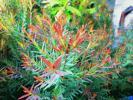 ●燃えるような赤い葉色●メラレウカ・レッドジェム●Melal