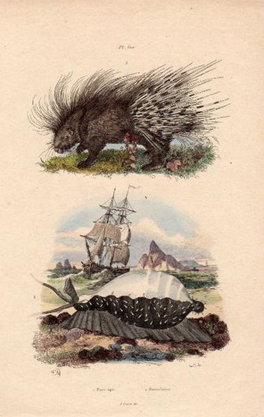 19世紀フランス 博物画「ヤマアラシ 他」銅版手彩_画像1
