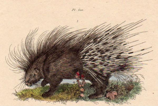 19世紀フランス 博物画「ヤマアラシ 他」銅版手彩_画像2